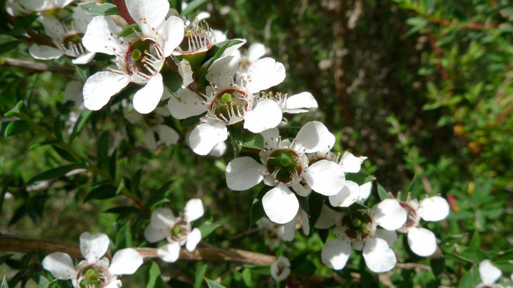 Common_Tea-tree_(6692434207)